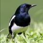 icon Kacer Bird Contest