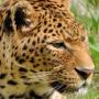 icon gold leopard wallpaper