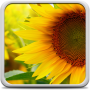 icon Sunflower Live Wallpaper