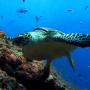 icon Sea Turtle. Live wallpaper.