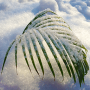 icon Tender Snowy Palm