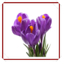 icon New Crocus Flowers Onet Game